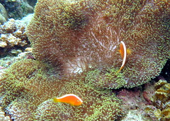 Amphiprion sandaracinos Explored (jeanmarie.gradot) Tags: clownfish clown anemone anemonefish reef corail corals coralreef panglao philippines balicasag snorkeling