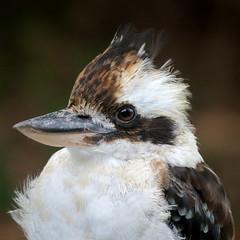 laughing kookaburra (Alfredo Sánchez-Tójar) Tags: wildlife australia animals vertebrate vertebrado nature naturaleza