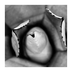 Cactus macro (spencerrushton) Tags: spencerrushton spencer rushton canon canonlens canonl canon5dmkiii canon100mmf28lmacroisusm 5dmk3 5dmkiii 100mm efcanon100mmf28lmacroisusm manfrottotripod manfrotto macro monochrome cactus portrait plant purpleport pretty park beautiful blackandwhite black bw white macroflowers macroplant macroflower garden gardens flower fillinflash fleur flor blume rhs rhswisley wood walk wisley