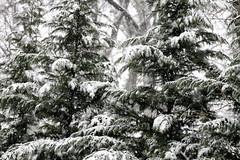 backyard trees in the snow (karma (Karen)) Tags: baltimore maryland home backyard trees snow polarvortex htmt cmwd