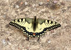 Papilio machaon (Ramunė Vakarė) Tags: insect papiliomachaon swallowtailbutterfly papilionidae nature lepidoptera lithuania eičiai ramunėvakarė
