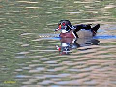 Pato joyuyo. (Aix sponsa)  (23) (eb3alfmiguel) Tags: aves exóticas agua acuaticas pato joyuyo aix sponsa ave anátida pájaro mar