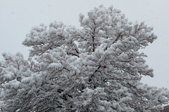 Cotton Ball Tree (arbyreed) Tags: arbyreed snow winter cold snowing trees snowfilledtrees snowfall loadedtrees
