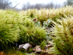Cladonia n Moss (jmunt) Tags: lichen cladonia moss britishsoldiers matchsticklichen