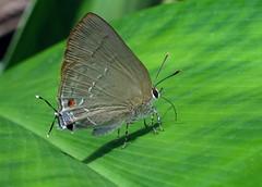 Allosmaitia strophius (hippobosca) Tags: allosmaitiastrophius butterfly lycaenidae peru insect lepidoptera macro hairstreak