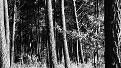Déambulations (Esteban 86360) Tags: forêtdemoulière forêt forest moulière vienne 86 poitou france bois wood tree arbre tronc souche pin nature