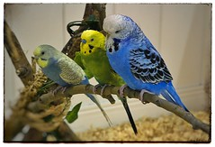 The budgie brothers. #photography #photooftheday #photoadaychallenge #project365 #canon7d #canon2470 #bird #opcmag #budgie (PSKornak) Tags: photography photooftheday photoadaychallenge project365 canon7d canon2470 bird opcmag budgie tortise calgary alberta canada