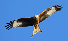 Kite (Treflyn) Tags: yet another shot bird prey red kite back garden earley reading berkshire low winter sun bring out best magnificent raptor