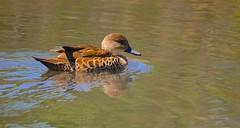 Chestnut Teal (F) (Rodger1943) Tags: waterbirds teals ducks australianbirds faunainmotion sonyrx10m4