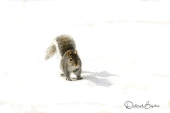 Dashing through the snow.  (Explored) (dbifulco) Tags: explored easterngraysquirrel isolated mammal nature newjersey shadow snow wildlife winter