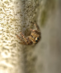 Jumping spider (f.tyrrell717) Tags: jumping spider brwosn mills nj pine barrens
