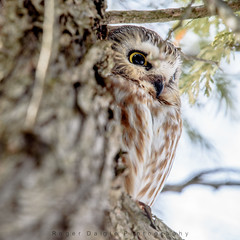 Saw-Whet Owl (Roger Daigle) Tags: saw whet owls raptors birds nikon