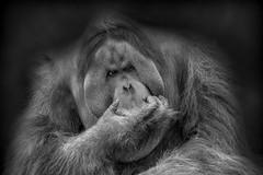 The Thinker - Der Denker (ralfkai41) Tags: portrait monkey monochrom nature orangutan bw tier animalportrait natur schwarzweis blackwhite tierportrait porträt sw affe zoo ape animal denker tierpark