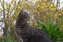 the huntress awakes (rootcrop54) Tags: camille female mackerel tabby cat spirea focus alert neko macska kedi 猫 kočka kissa γάτα köttur kucing gatto 고양이 kaķis katė katt katze katzen kot кошка mačka gatos maček kitteh chat ネコ