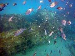 """Caribbean Vibe (James Patterson) Tags: gopro shipwreck fish """"westindies"""" caribbean barbados"""
