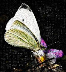 _MGL8507 European Cabbage Butterfly, Lolland - DK_created_using_Artensoft_Photo_Collage_Maker, Photoshop, Own photo, Filter Forge (SØS: Thank you for all faves + visits) Tags: butterfly collage digitalartwork art kunstnerisk manipulation solveigøsterøschrøder artistic europeancabbagebutterfly flowers mosaic 100views
