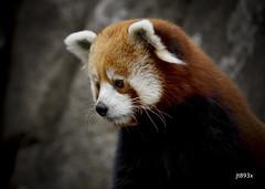 Red Panda (jt893x) Tags: 150600mm ailurusfulgens d500 jt893x nikon nikond500 portrait redpanda sigma sigma150600mmf563dgoshsms thesunshinegroup coth alittlebeauty coth5 sunrays5