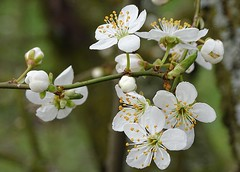 White Spring blossom (lesley-anne11) Tags: nature tree flower blossom spring