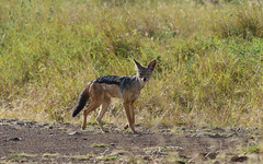 Jackal 1 (orientalizing) Tags: blackbackedjackal nairobi creatures mammals kenya nairobinationalpark wild