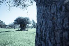 Cyprus Countryside – End of 2018 (58) (Polis Poliviou) Tags: nature green tree wood root agriculture plant outdoors cyprustheallyearroundisland cyprusinyourheart yearroundisland zypern republicofcyprus ©polispoliviou2018 polispoliviou polis poliviou πολυσ πολυβιου leaf field mediterranean oleaeuropaea winterincyprus flora grass environment healthy beauty afiap motherearth art agricultural soil texture rough postcard brunch grey brown season countryside organic ecology ecological winter lovecyprus olivo ulivo sunlight light sun delikipos psevdas pyrga olivetree naturetree locusttree larnaca larkana nicosia rural pine church