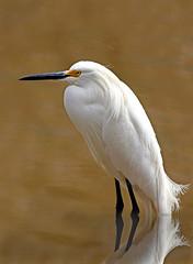 The Snowy egret, Egretta thula (John's Love of Nature) Tags: thesnowyegret egrettathula canonef70300mmf456lisusm canoneos7d outdoor nature johnkelley johnsloveofnature wildlife wildlifeart