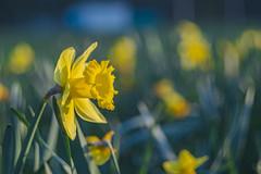 Colourful (FrankfromCologne) Tags: flower m42 spring frühling narzissen germany köln cologne nikonz z6 nikon helios442 helios