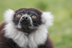 B&W Ruffed Lemur (chrisellis211) Tags: lemur peakdistrict animal animalkingdom animals canon 80d canon80d telephoto portrait endangered peaks adventures bw black white blackandwhite