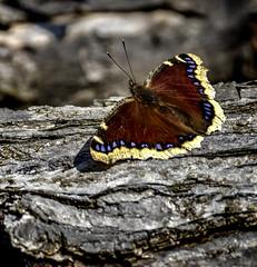 Sunny Spot (Portraying Life, LLC) Tags: cropapsc da3004 hd14tc k1mkii michigan pentax ricoh topazaiclear unitedstates butterfly closecrop handheld nativelighting