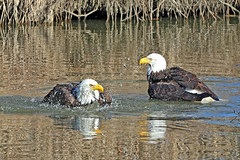 Bald Eagles Bathing 19-0302-3879 (digitalmarbles) Tags: baldeagle baldeagles bald eagle eagles birdofprey raptor raptors haliaeetusleucocephalus accipitriformes accipitridae couple pair bathing washing splashing water reflection reflecting ripples distortion nature wildlife animal bird birds birder birdphoto birdphotography wildlifephotography boundarybay deltabc lowermainland bc britishcolumbia canada canoneosrebelt7i canon