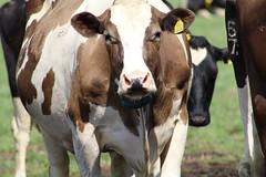 Delta  Coco Nova (excellentzebu1050) Tags: livestock dairycows dairyfarm cattle cow animal farm outdoor animalportraits closeup coth5 sunrays5