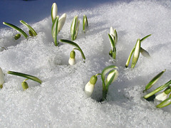 Snow covering snowdrops (Päivi ♪♫) Tags: norway oslo island snow march snowdrops snøklokker lumikellot sun spring