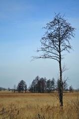 Landscape with lonely alder. (ALEKSANDR RYBAK) Tags: изображения пейзаж дерево ольха одинокая луг весна сезон погода природа небо images landscape tree alder lonely meadow spring season weather nature sky