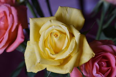 DSC_2785 (PeaTJay) Tags: nikond750 sigma reading lowerearley berkshire macro micro closeups gardens indoors nature flora fauna plants flowers rose roses rosebuds
