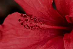 IMG_0996 Macro (Fernando Sa Rapita) Tags: baleares canon canoneos eos1300d mallorca sarapita sigma sigma105mm sigmalens macro naturaleza nature flower flor hibiscus red rojo