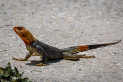 an agama hunting flying insects in Melbourne, Florida. (robertskirk1) Tags: nature outdoor wildlife animal reptile reptilian lizard redhead rainbow rock agama melbourne florida fl john rodes boulevard land yacht harbor lyh