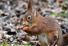 DSC_0574 Eichhörnchen (Charli 49) Tags: nature naturfotografie wildlife tier nikon d500 säugetier eichhörnchen rot