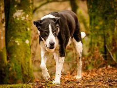 Zac in January-2 (grahamrobb888) Tags: zac pet dog animal mammal birnamwood d500 nikon nikond500 nikkor afnikkor80200mm128ed