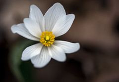 Blood Root (Bernie Kasper (6 million views)) Tags: art berniekasper bloom bloodroot cliftyfallsstatepark color cliftyfalls colour d750 family flower floral flowers fun hiking indiana indianawildflowers jeffersoncounty light landscape leaf leaves love madisonindiana macro madisonindianacliftyfallsstatepark nature nikon naturephotography new outdoors outdoor outside old photography plant park plants photos photo people raw sigma spring statepark travel trail unitedstates usa wildflower wildflowers white yellow