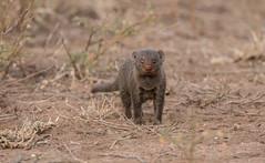 Mongoose (dunderdan77) Tags: mongoose fur animal mammal cute wildlife nature safari south africa mpumalanga kruger national park nikon d500 tamron portrait close up
