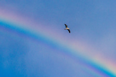 Seagull Flying Over the Rainbow Over Macy's at the Lakewood Center Mall (SCSQ4) Tags: birdflyingovertherainbow california cloudy cloudyskies lakewood lakewoodcentermall macys rainbow seagull