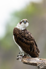 Inquistive Osprey (just4memike) Tags: animal beauty bird blurredbackground branch brown eye feather grass hawk lake nature osprey perch raptor stare talon tree wildlife wing