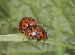 24 Spot Ladybirds (Prank F) Tags: titchmarshlnr wildlifetrust northantsuk wildlife nature insect macro closeup beetle ladybird ladybug 24spot