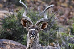 Kudu in the Karoo. (SuzieAndJim) Tags: naturephotography nature horns safari game antelope africa southafrica nationalpark karoo suzieandjim