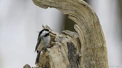 Mésange à tête noire / Black-capped Chickadee (richard.hebert68) Tags: nikon z7 300mmf4pf domainemaizerets forêts arbre hiver mésange québec canada
