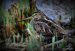 Common Snipe - Summer leys - LNR (Alan Woodgate) Tags: snipe water reeds wader
