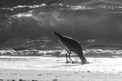 Lunch,..found! (JKBfoto) Tags: ocean landscape sunset sun water waves beach bird