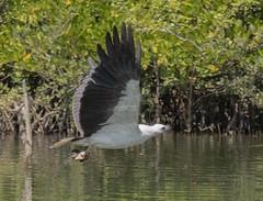 Picking up lunch (ORIONSM) Tags: bird eagle fish lunch india goa palolem nature wild feeding hunting wildlife raptor prey panasonic tz100 lumix