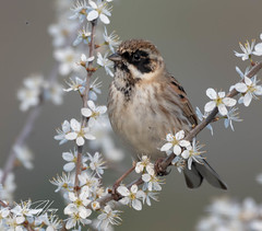 Reed Bunting amongst the blossom (hussey411) Tags: photographer photography amateurphotography amateurphotographer wildlifephotographer wildlifephotography wildlife naturephotography naturephotographer nature birds bird westmidlands bromsgrove uptonwarren reedbunting