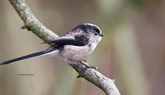 Long-tailed Tit (Alan McCluskie) Tags: longtailedtit silverthroateddasher longtailedbushtit birds oiseaux aves nature wildlife coatewater