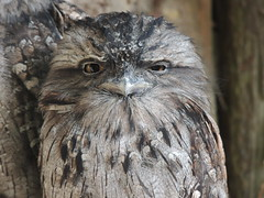 Do I look Amused (Kevin Pendragon) Tags: tawny frogmouth owl cornwall autumn outdoors feathers bird grey light brown beak eyes small nature naturephotography